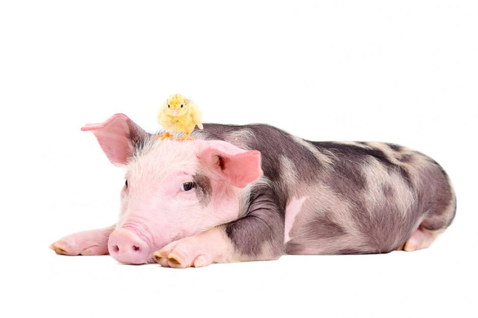 Trudna sytuacja producentów wieprzowiny. Konsumenci wybiorą kurczaka?