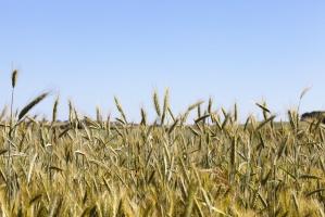 Ukraina zwiększa eksport zbóż i produkcję oleju słonecznikowego