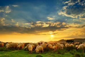 Pogłowie owiec w Polsce wzrosło