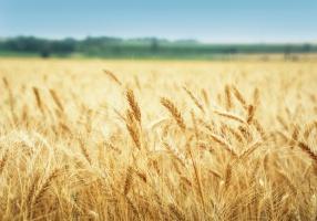 Osłabienie euro poprawiło sytuację eksporterów pszenicy z UE