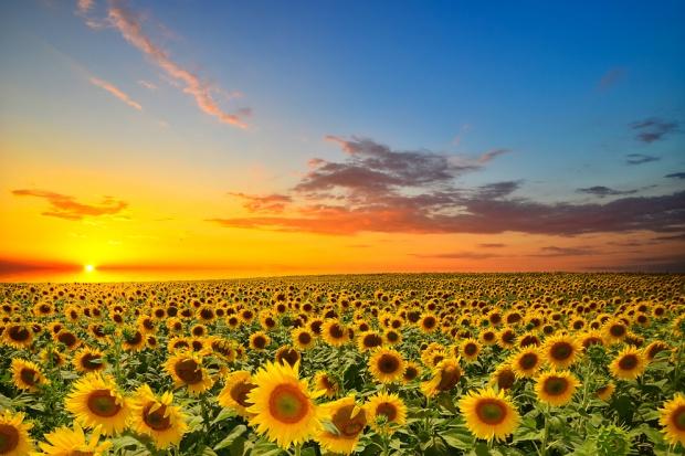 DG Agri zmniejsza prognozę produkcji rzepaku i słonecznika