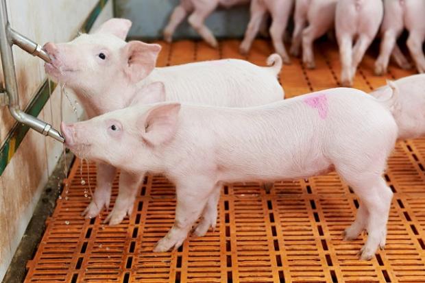 Eksperci: Ceny wieprzowiny będą rosły. Możliwy spadek konsumpcji