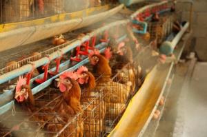 Prognozy dla rynku drobiu w Chinach w 2016 r.