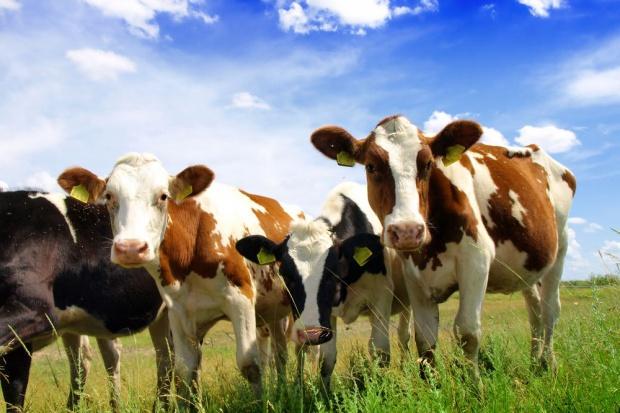 Wzrósł eksport bydła hodowlanego rasy HF z Niemiec