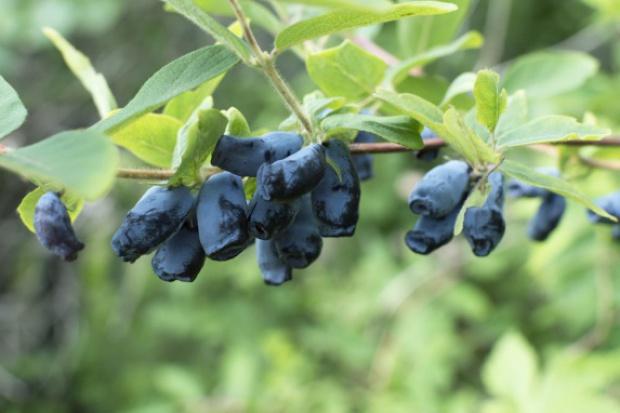 Owoce jagody kamczackiej pomagają w walce z nowotworami
