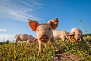 W styczniu niewielki wzrost cen na rynku wieprzowiny