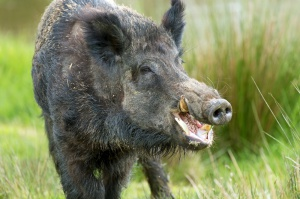 Czas ograniczyć restrykcje w związku z ASF u świń