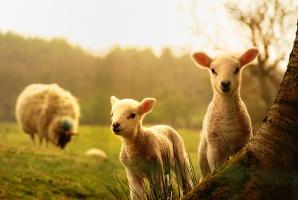 Rośnie pogłowie owiec w Polsce