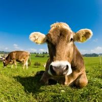 USA wznowi eksport wołowiny do Izraela