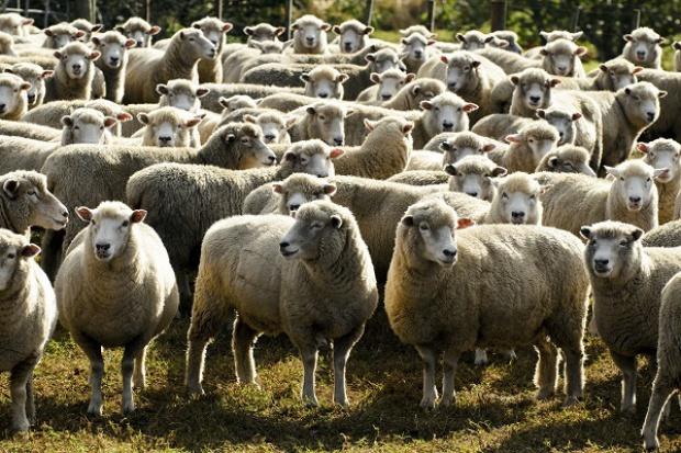 Wzrost wypełnienia kontyngentu taryfowego na dostawy mięsa baraniego do Unii w 2015 r.