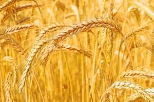 Francja: obszar zasiewów pszenicy pod zbiór największy od 80 lat