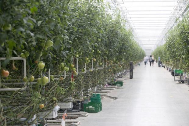 Citronex: Czechom przeszkadza światło ze szklarni pomidorów pod Bogatynią