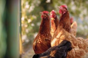 W Polsce można zaadoptować kurę i mieć własne jaja