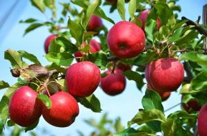 BGŻ BNP Paribas: Silny spadek eksportu polskich jabłek w II połowie 2015 r.