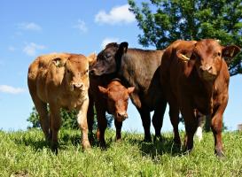 UE: niższy handel mięsem i żywcem wołowym