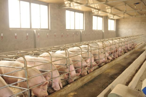 Tönnies zainwestuje 300 mln euro w serbski sektor wieprzowiny