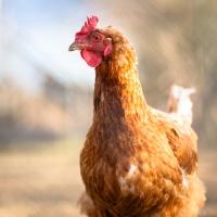 Rabobank: marże producentów drobiu będą się poprawiać