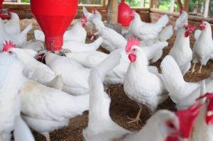Francja: Nowe przypadki ptasiej grypy