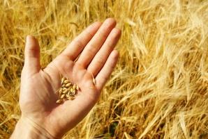 FAO: Światowa produkcja pszenicy w 2016 roku nieznacznie spadnie