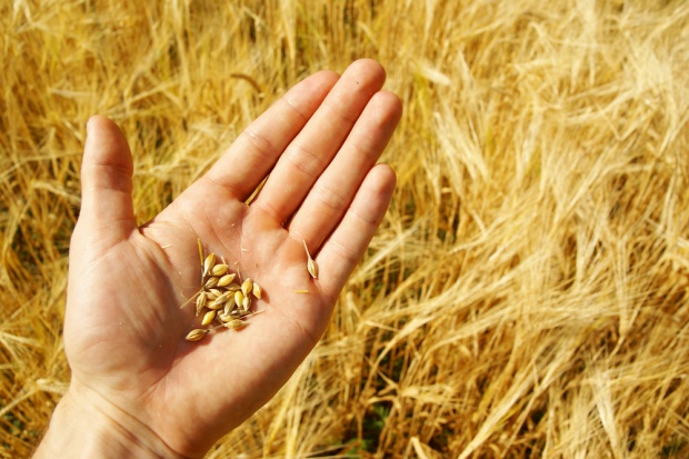 UE: Ceny zbóż nadal niższe niż przed rokiem