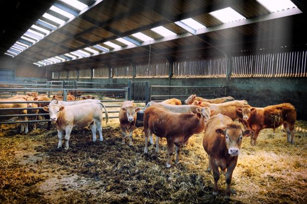 Holandia będzie eksportowała wołowinę do USA