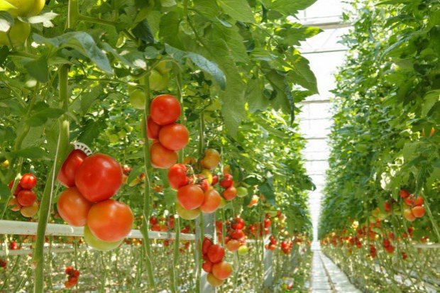 Citronex wdrożył informatyczny system w firmie Polskie Pomidory