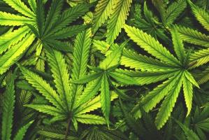 Wolne Konopie: Chcemy żeby marihuanę można było uprawiać w ogródku