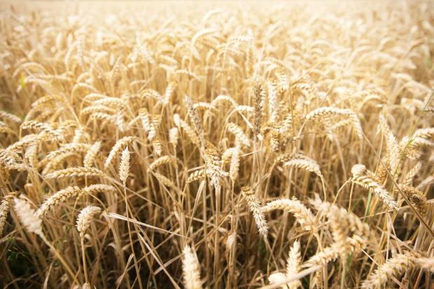 Zbiory zbóż w Rosji były większe niż szacowano