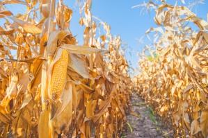 Zboża: spadają zbiory pszenicy, rosną kukurydzy