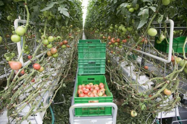 Citronex rozwija produkcję pomidorów. Rusza też z ich eksportem