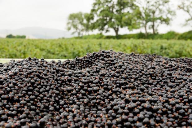 Fatalne nastroje wśród plantatorów czarnych porzeczek