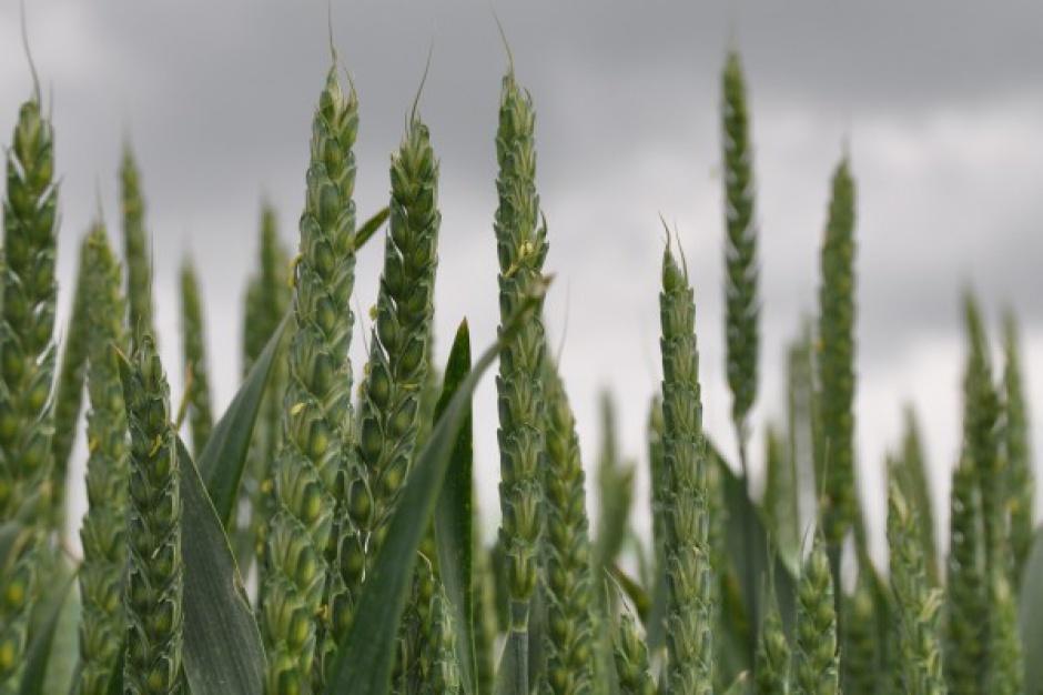 Straty w zasiewach zbóż ozimych przekroczyły 10 proc.; rzepaku - 25 proc.