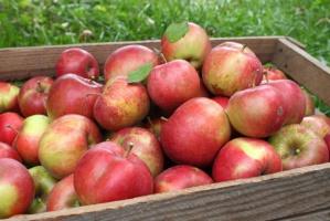 Rosja zniszczyła 700 ton polskich jabłek