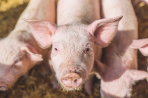 KE rozważy wznowienie prywatnego przechowywania wieprzowiny