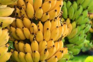 Boa dusiciel w kartonie z bananami w supermarkecie
