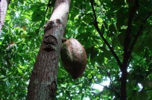 Sektor komercyjnych upraw kakao na świecie podwoi się w ciągu następnych 20 lat