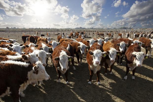 Rośnie pogłowie czystorasowego bydła mięsnego