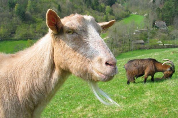 Śląskie wspiera hodowlę owiec i kóz