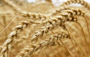 UE: Wzmożony eksport wspiera ceny pszenicy