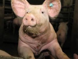 """Francja: Stanowisko """"przedstawiciela ochrony zwierząt"""" w każdej rzeźni"""