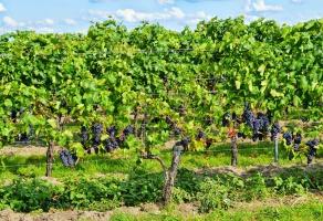 Globalne ocieplenie uczyni z Polski winiarską potęgę?