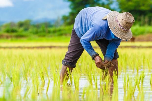 Susza zagraża uprawom ryżu