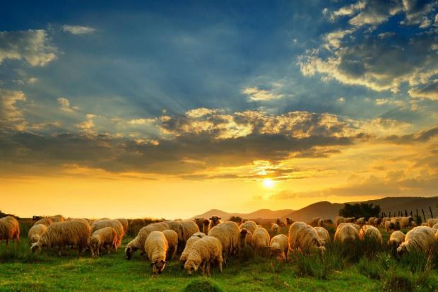 Władze Ferrary zatrudniły owce do koszenia trawy