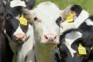 Włoscy rolnicy protestują przeciwko niskim cenom skupu mleka