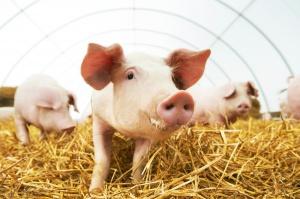 Wkrótce na rynek unijny trafi wieprzowina z magazynów prywatnego przechowywania