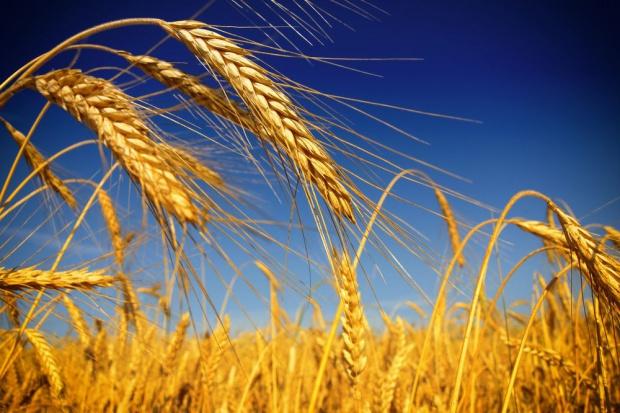 Zbiory zbóż niższe niż w poprzednim sezonie