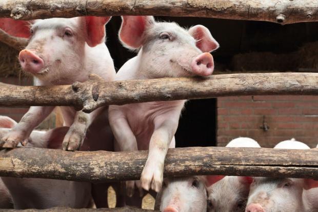 W tym tygodniu decyzja WTO ws. rosyjskiego embarga na wieprzowinę z UE