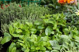 Rynek ziół alternatywą dla mniejszych rolników