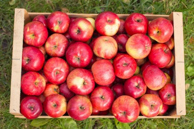 Związek Sadowników RP przygotowuje dwie kampanie promujące jabłka