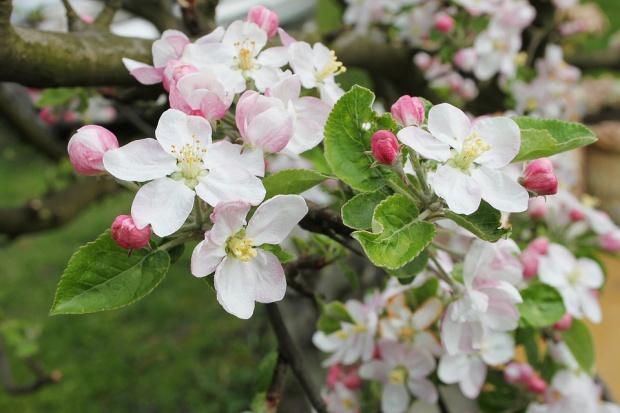 W Kazachstanie rosną już polskie jabłonie